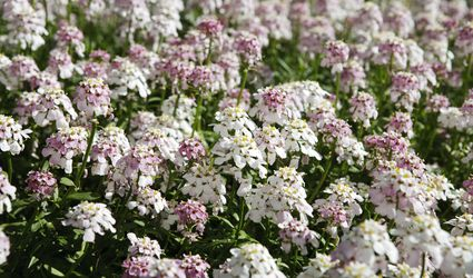 Pruit's candytuft in bloom.