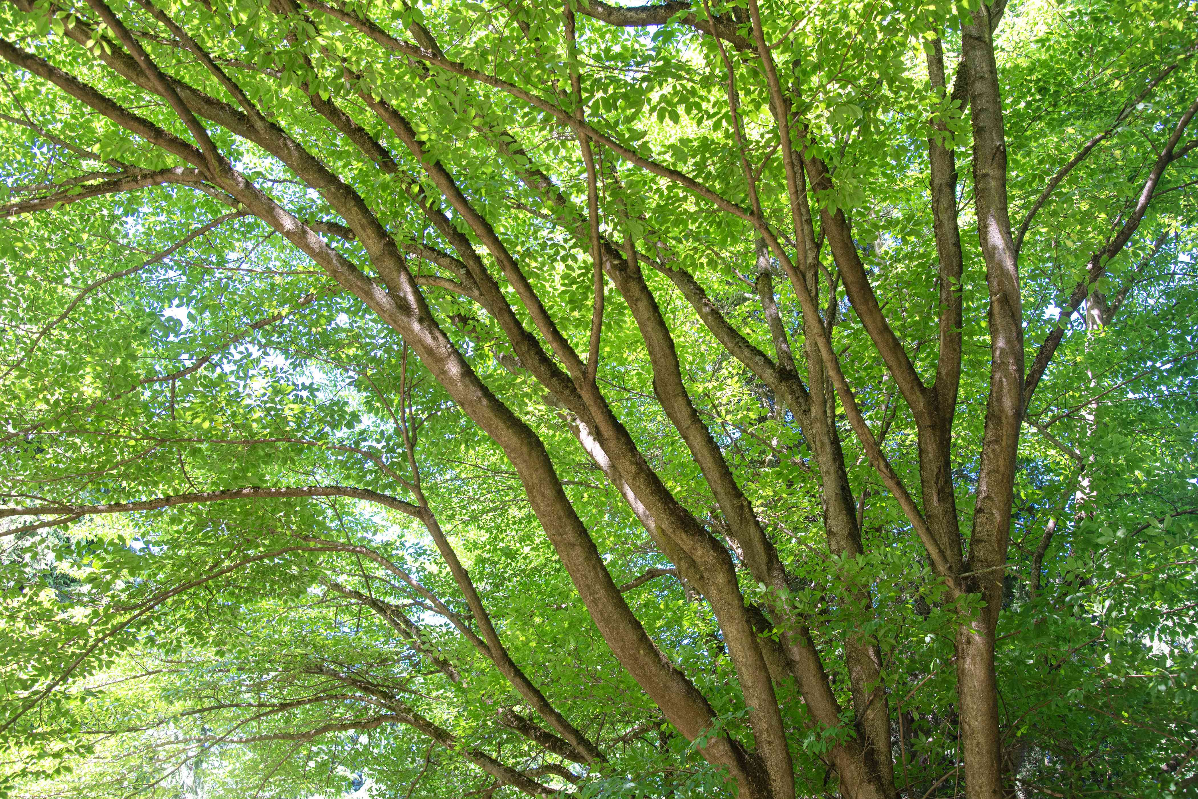 Vine leaf maple tree trunks sprawling into spreading branches with bright green leaves