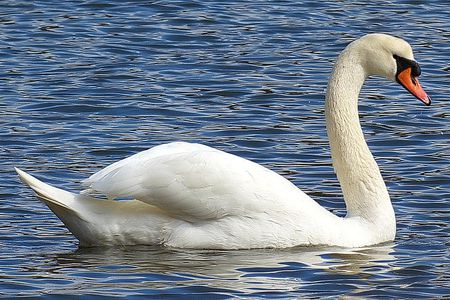 Swans Have Come Back >> Mute Swan