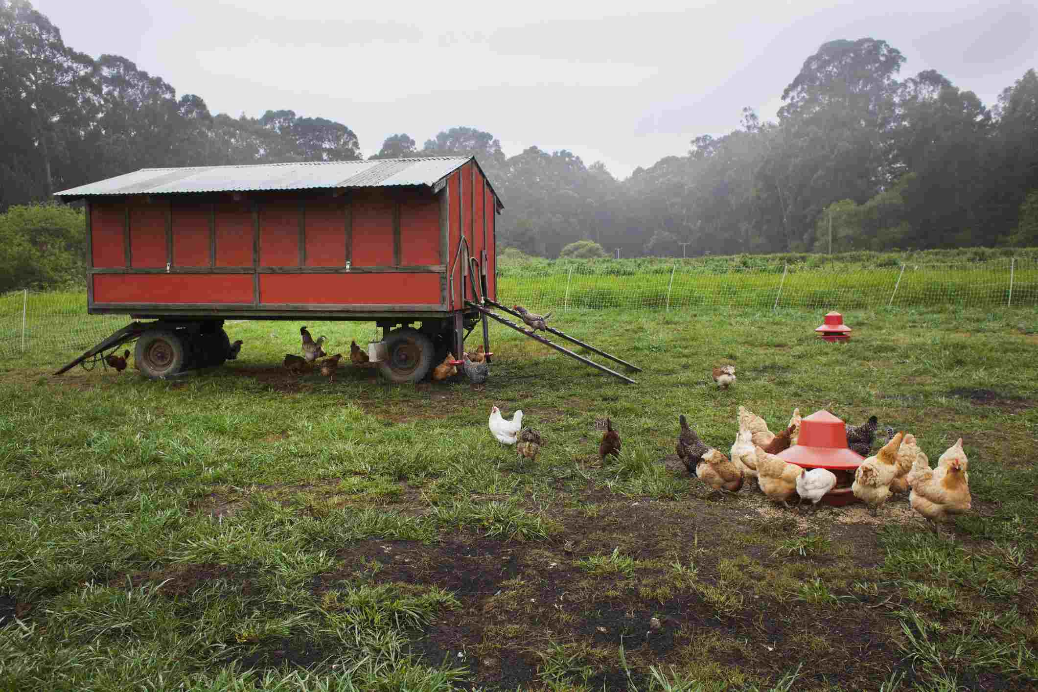 ree range chickens feeding outside a mobile coop
