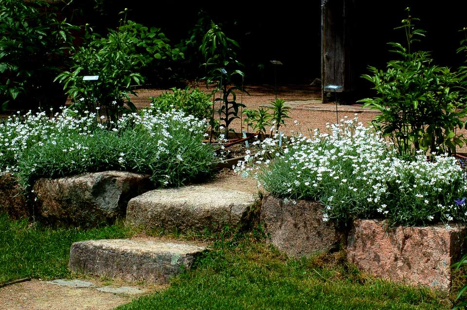 Snow-in-summer (image) grows well in the Thuja Garden, Bar Harbor, Maine. It's a groundcover.