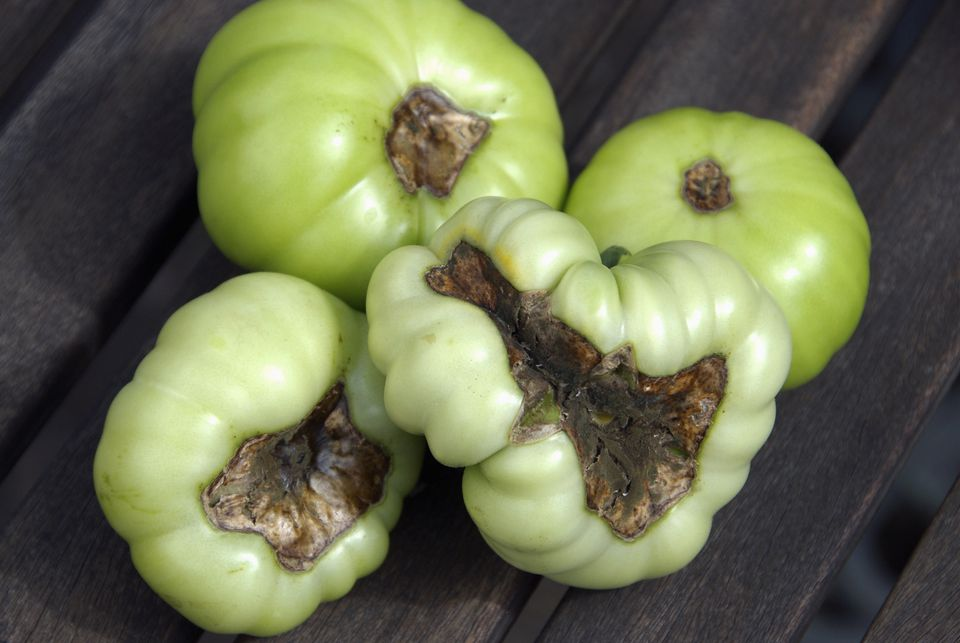 Blossom end rot on beefsteak tomatoes (Solanum lycopersicum) caused by irregular watering