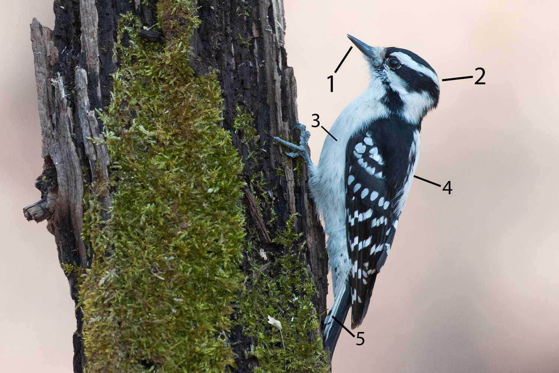Pájaro carpintero hembra