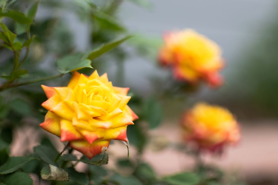 Yellow and orange tipped rose blooms surrounded by leaves closeup