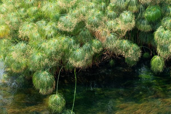 Papyrus plants with clumps of umbrella-like grassy rays hanging over water