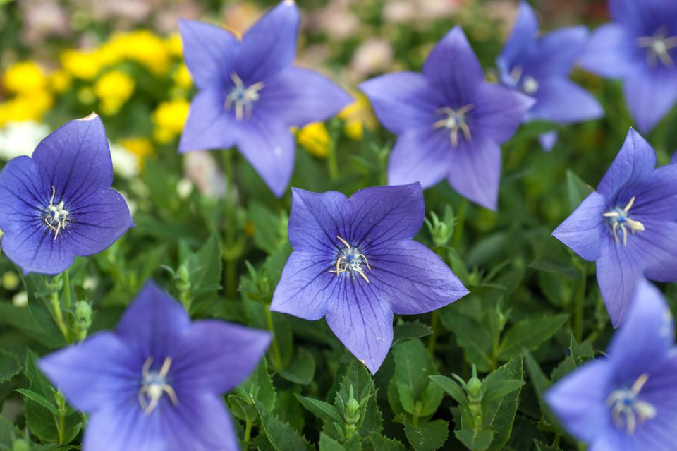 Balloon flowers with purple star-shaped petals on leaves with buds