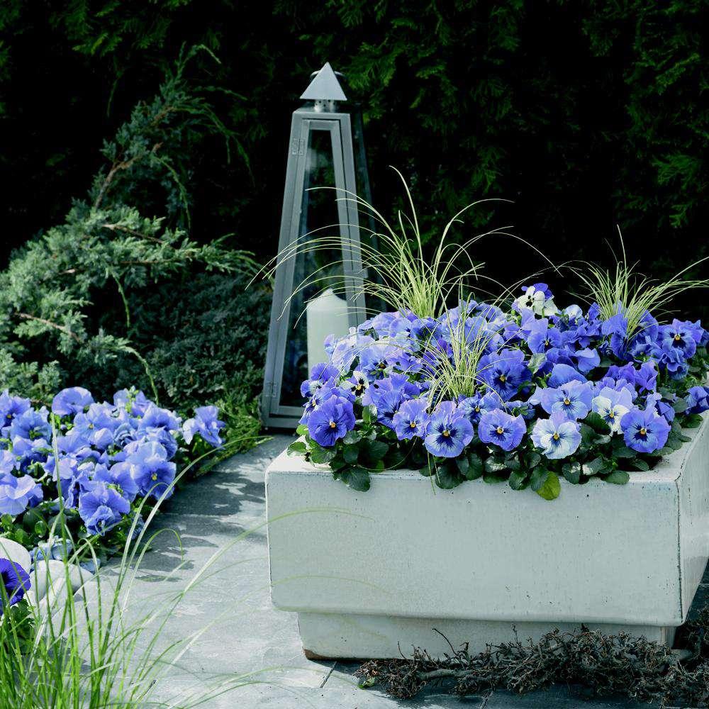 'Delta Premium Marina' pansies with blue petals and dark centers