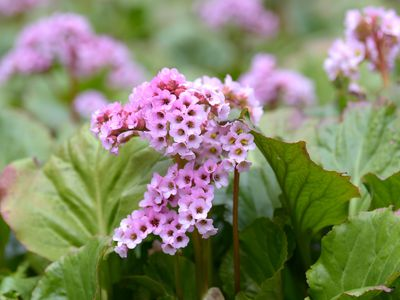 Bergenia plant with small pink flowers clustered together next to large leaves