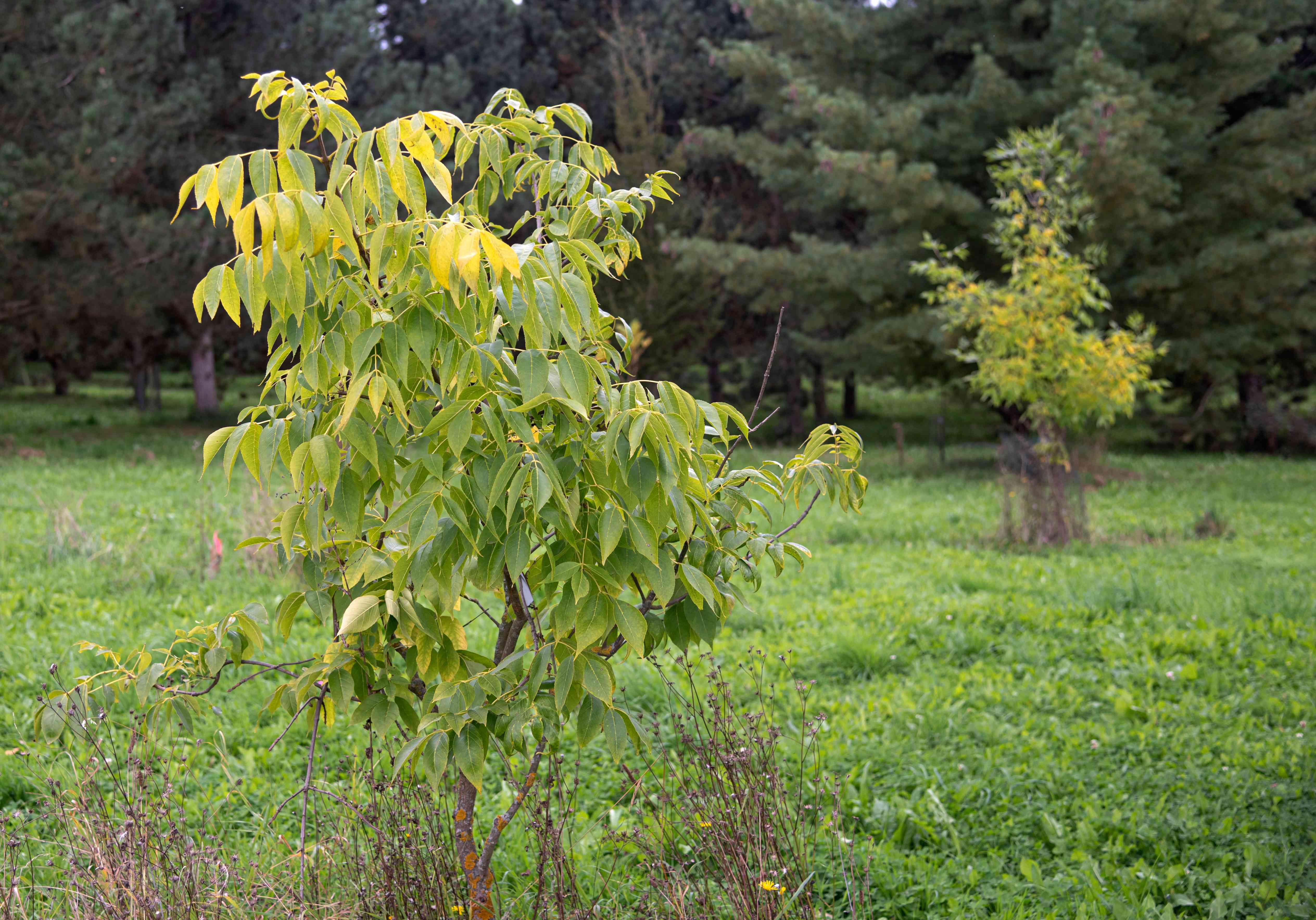 Blue ash trees in middle of field with yellow-green leaves on branches