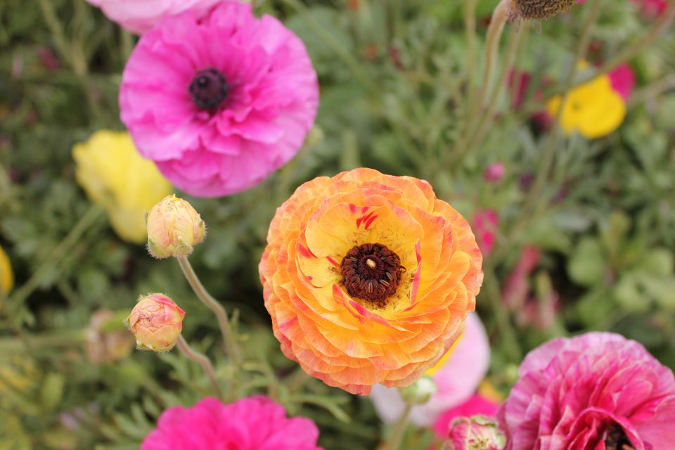 Ranúnculo, Ranunculus