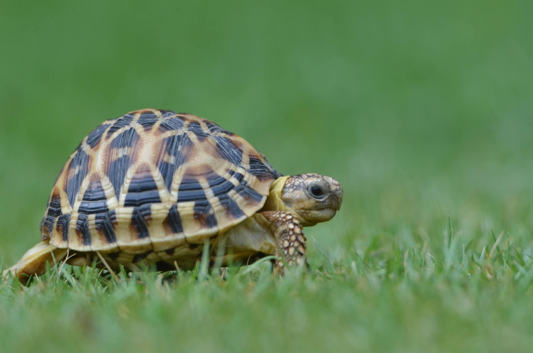 Turtle walking through grass