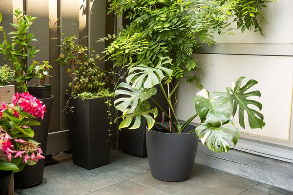 Self-watering plant container with large monstera plant in front surrounded by other houseplants in pots