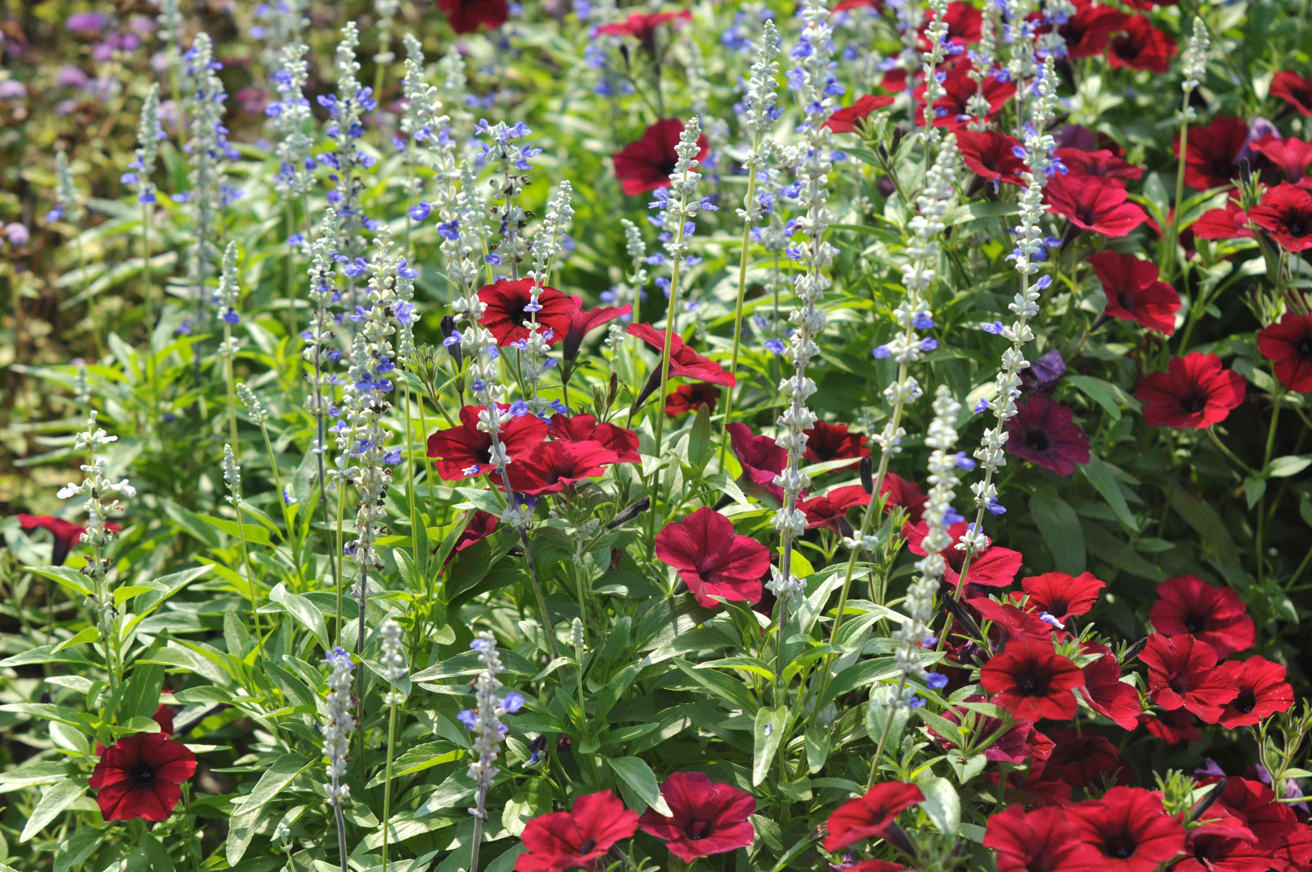 Mealy cup sage with light blue flowers in leaves and other red flowers