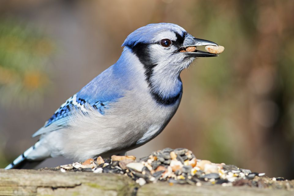 Blue jay eating birdseed.