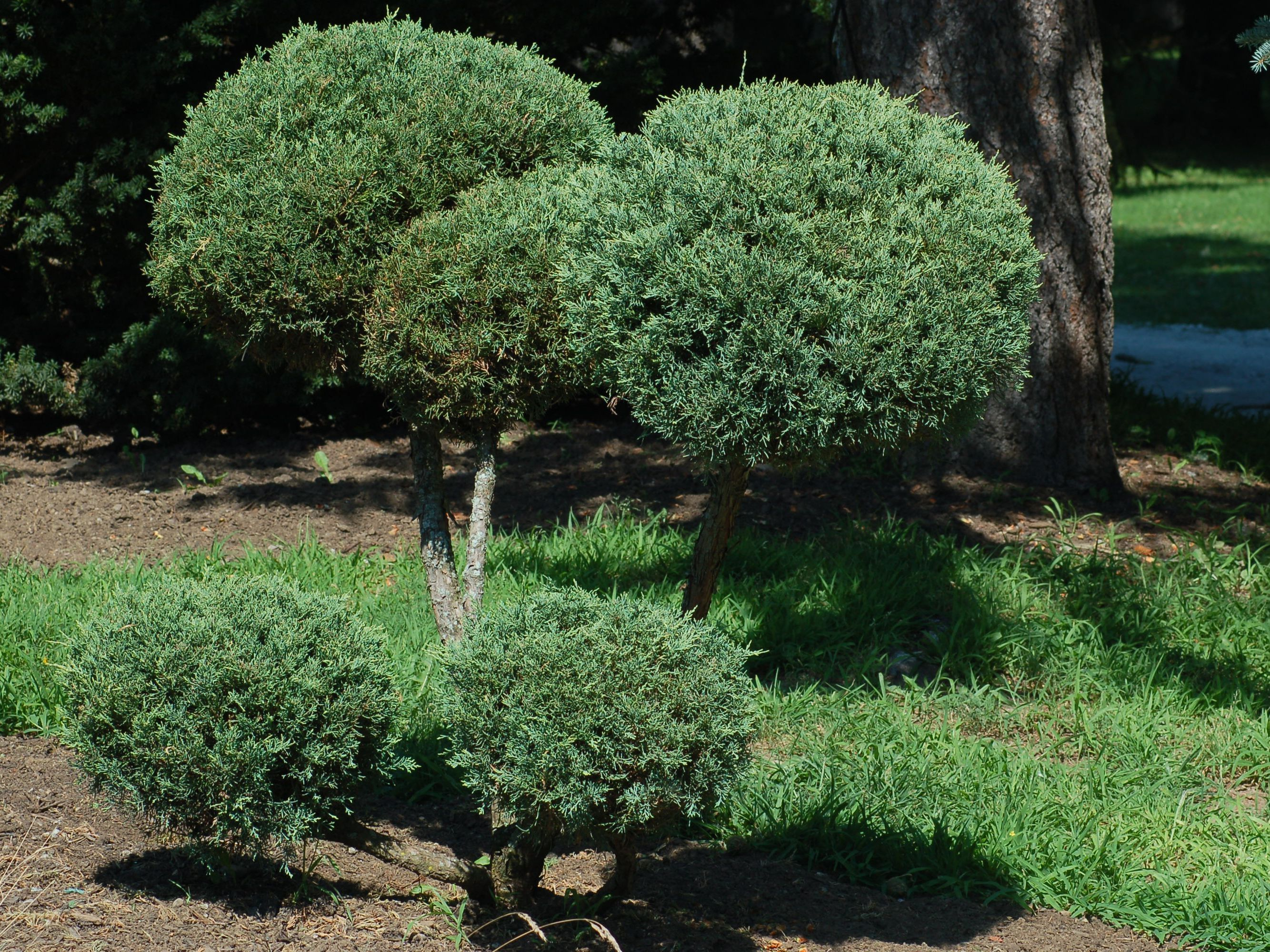Chinese Juniper Care And Growing Guide