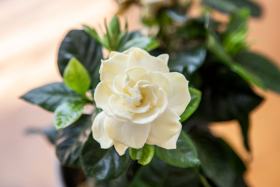 Gardenia plant with cream white flower above glossy green leaves closeup