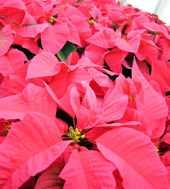 Beautiful red Ecke poinsettias