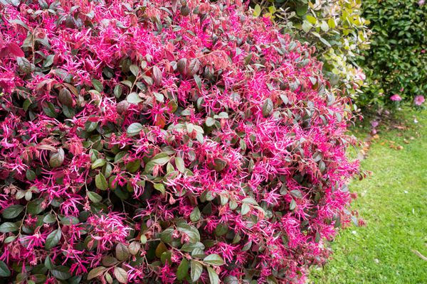 Chinese fringe flower shrubs with bright pink delicate flowers with light green leaves