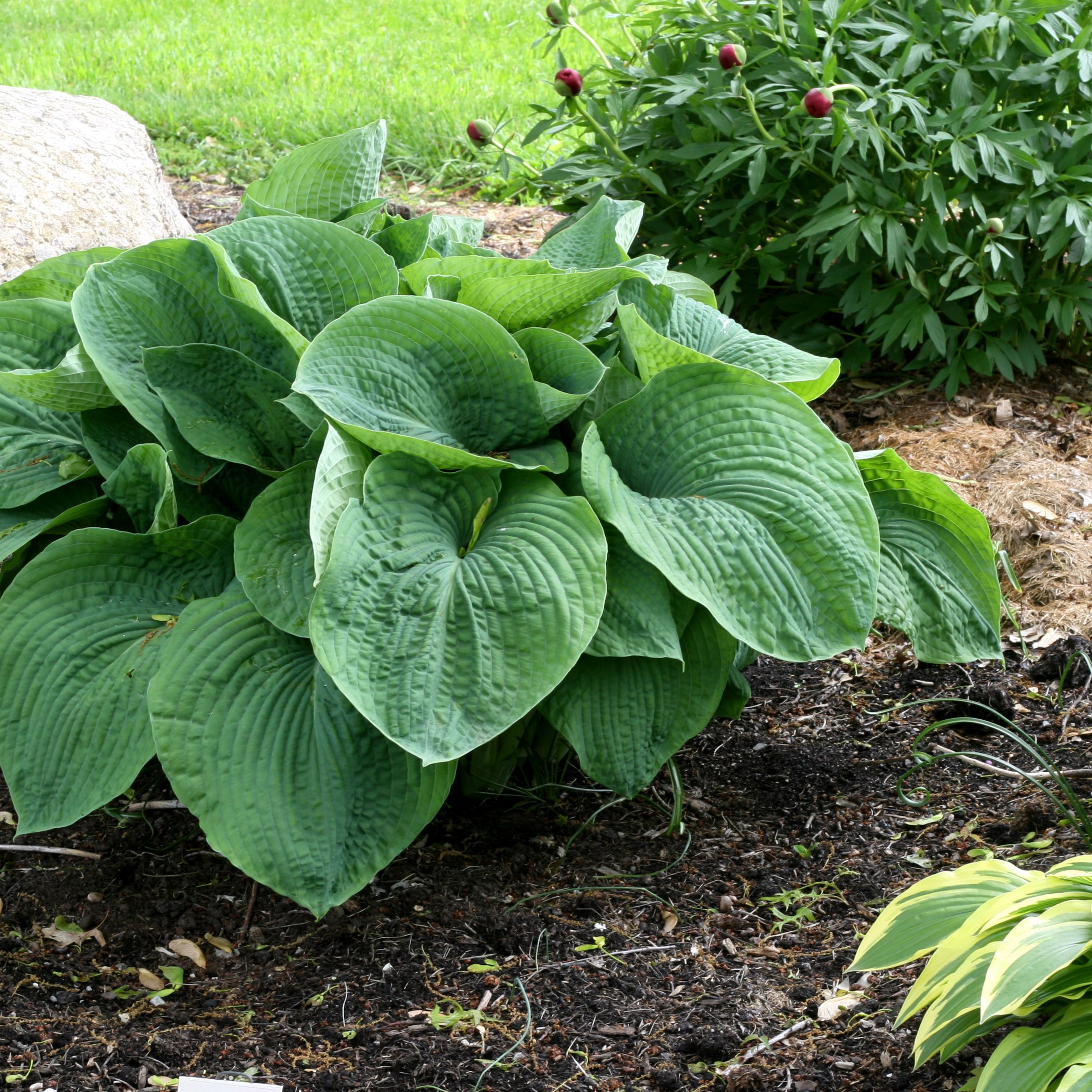 Growing Hostas Inside