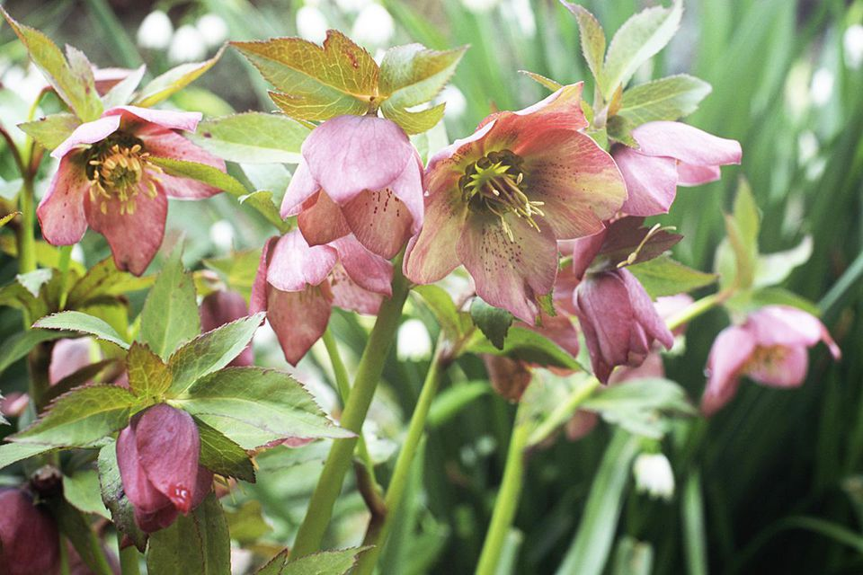 Helleborus orientalis in bloom.