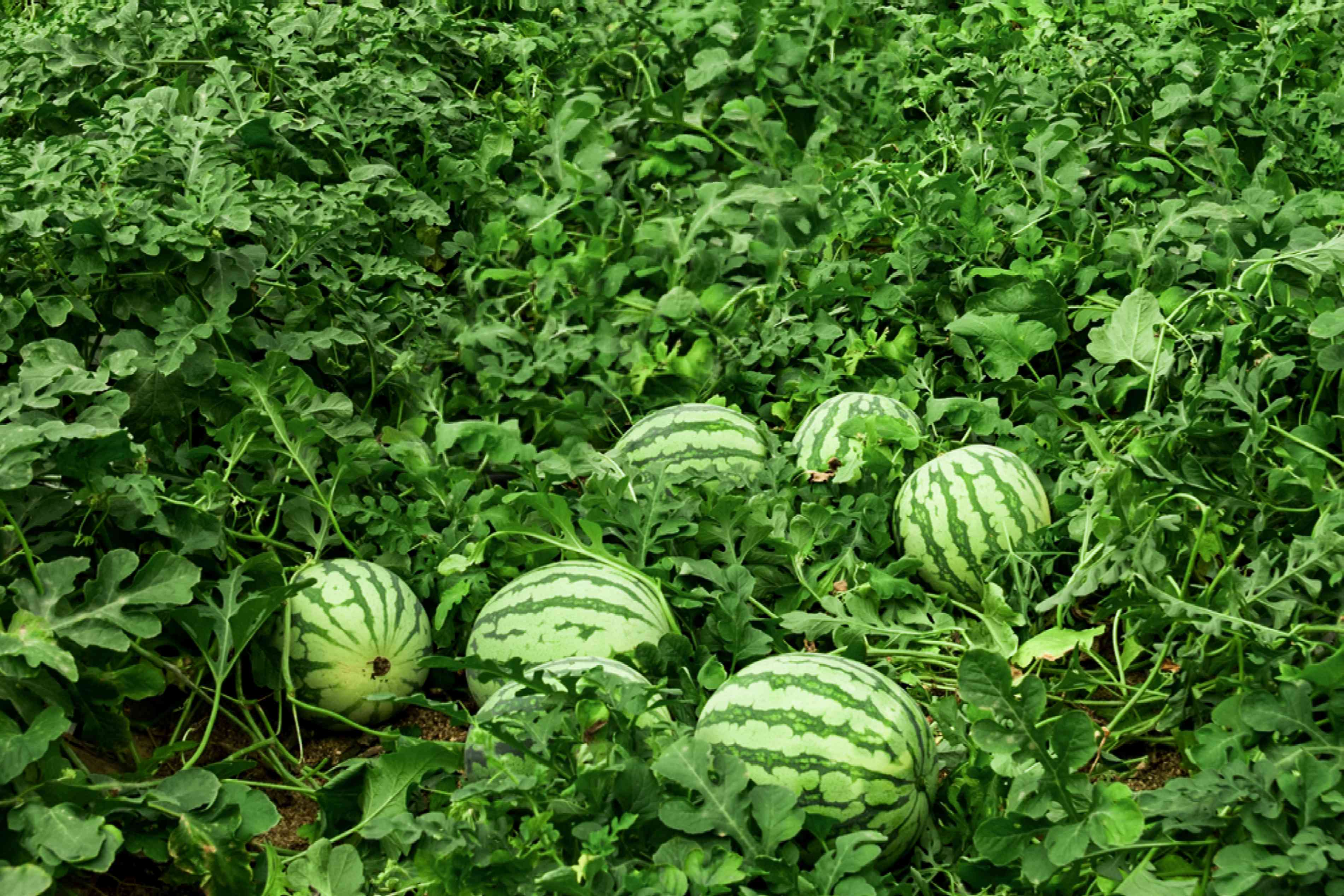 Yellow watermelons in middle of vine patch and leaves