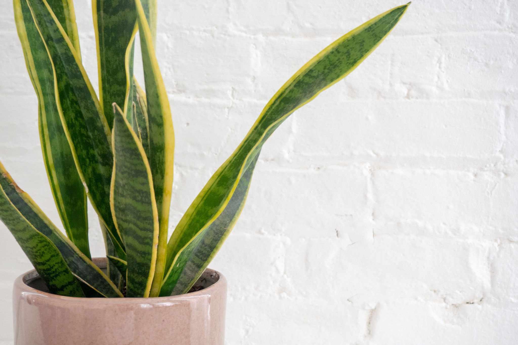 una planta de serpiente contra una pared de ladrillos