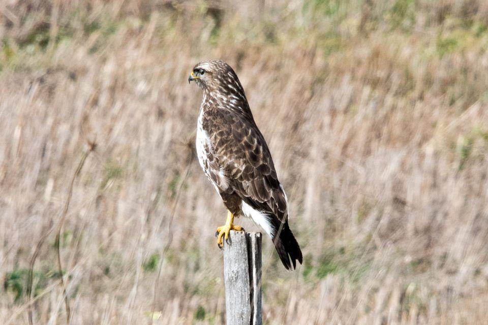 buzzard on a pole