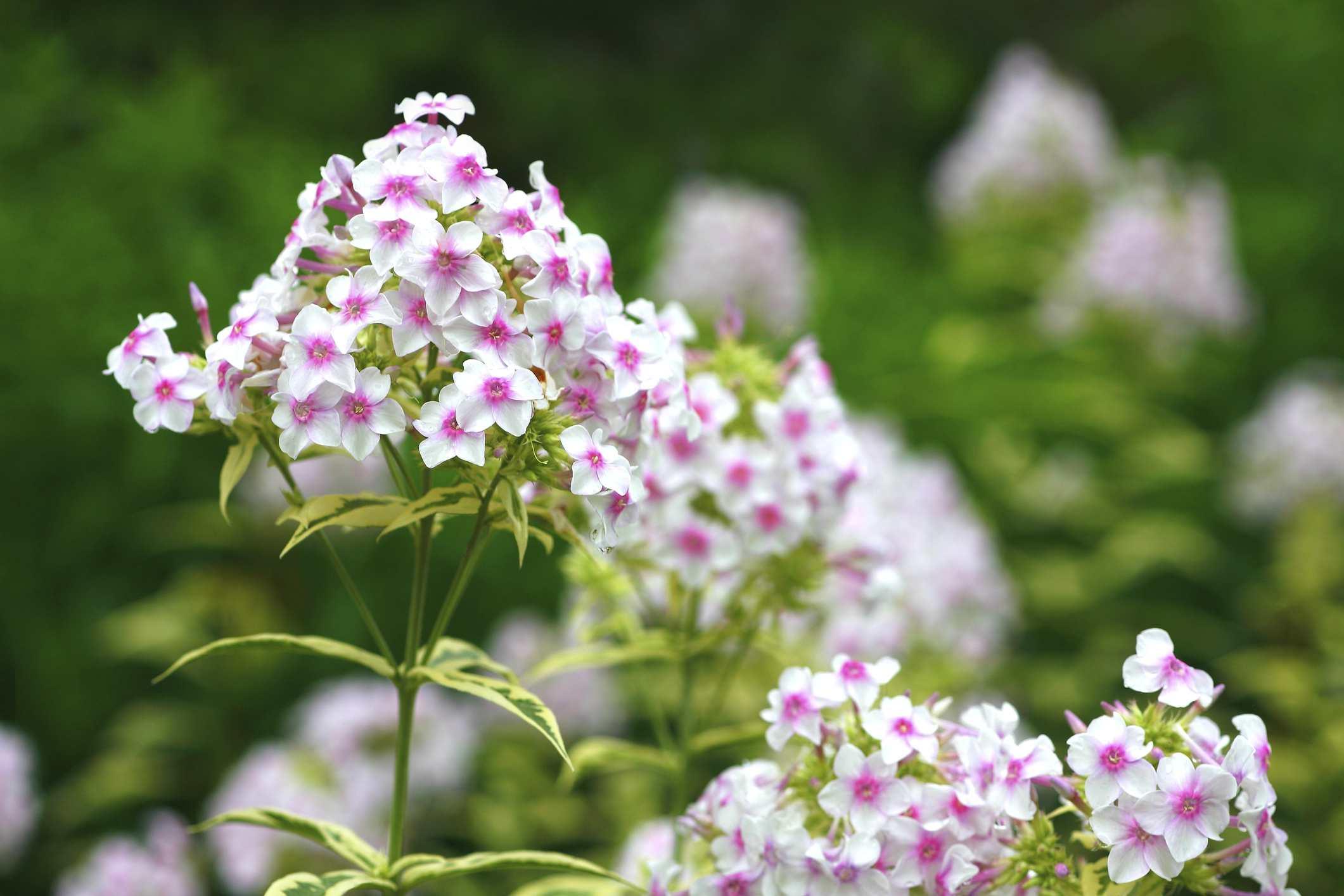 Nora Leigh phlox plants