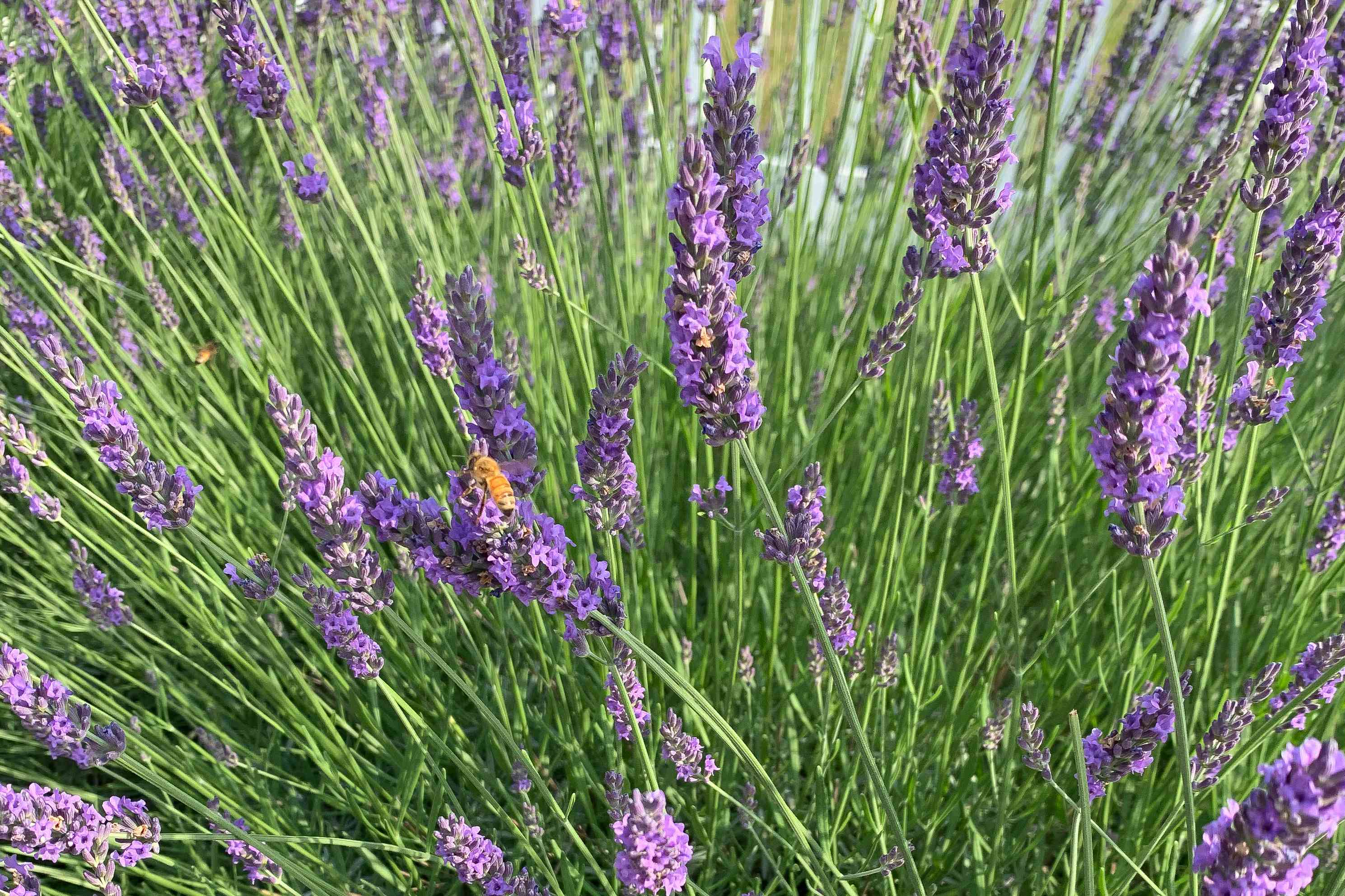 Lavender plant with small purple flowers on end of thin stems clustered together with bee on top