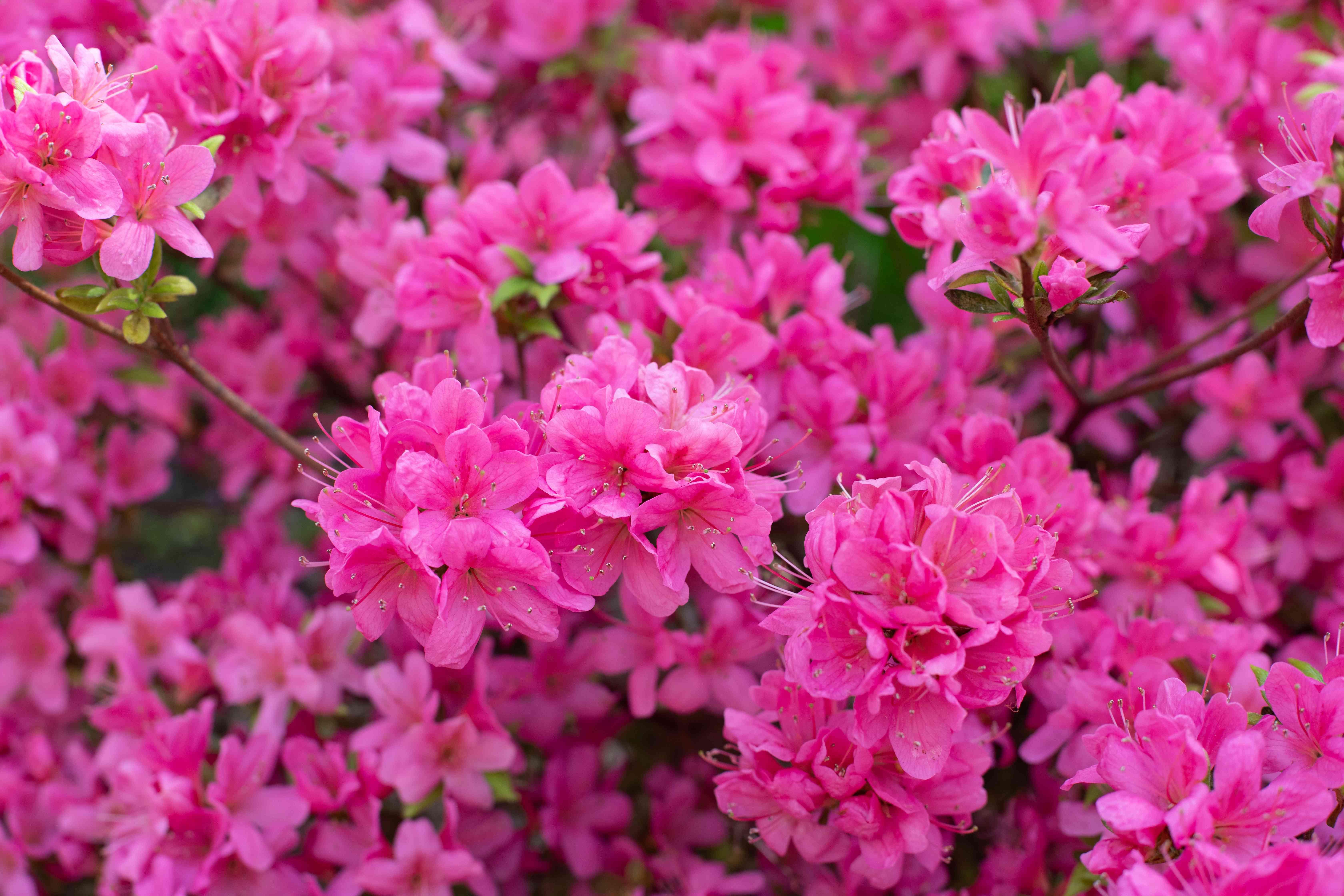 Azalea shrub with bright pink riffled flowers closeup