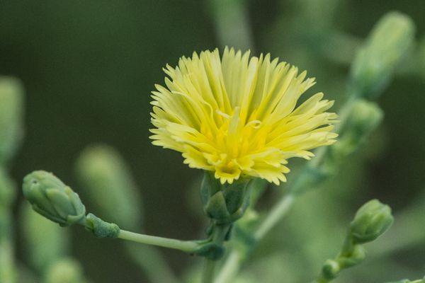 Tango lettuce flower