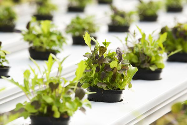 A mesclun mix grows at Two Guys from Woodbridge, an organic, hydroponic greenhouse in Hamden, Connecticut.