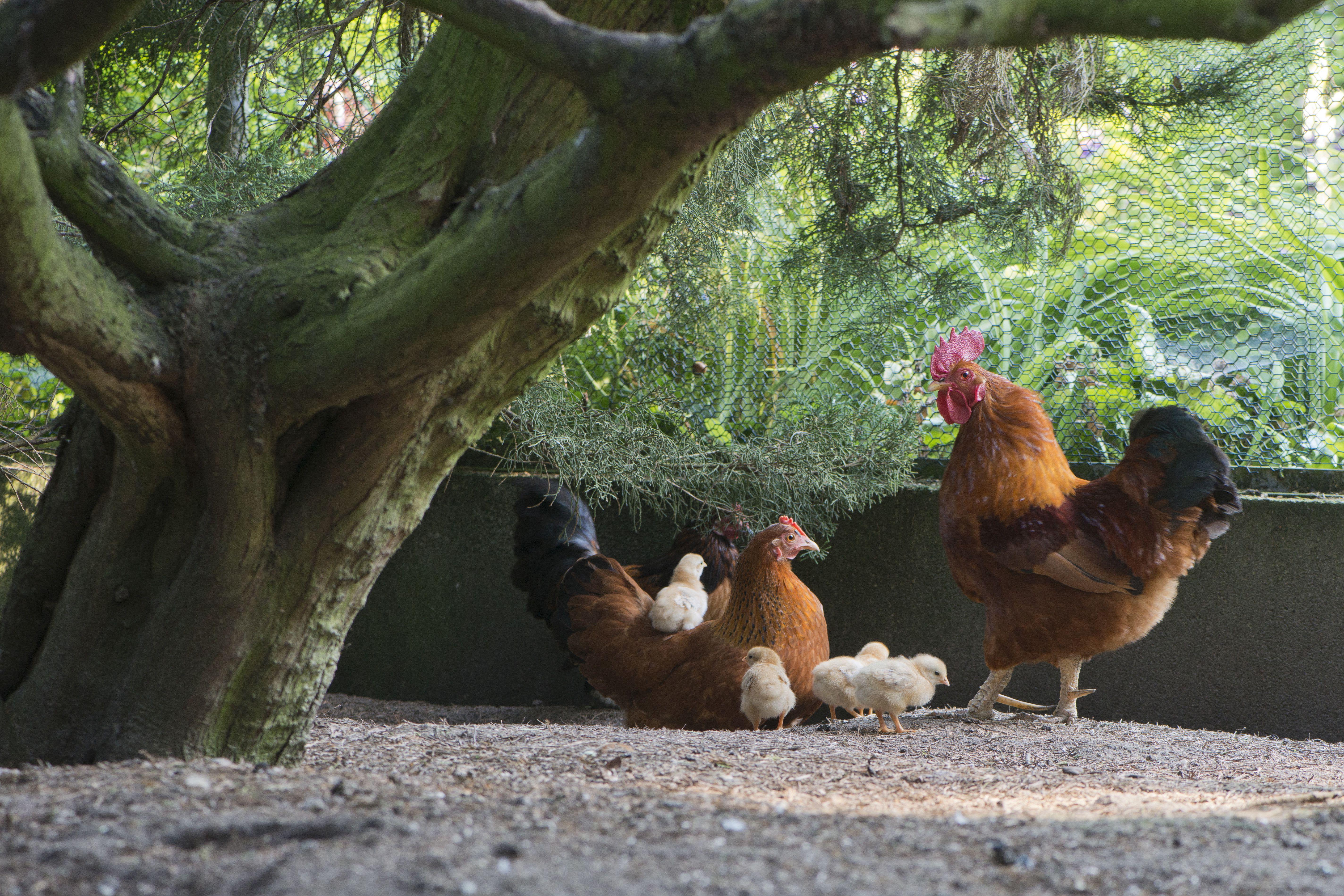 Dwarf New Hampshire, hen with chicks, Emsland, Lower Saxony, Germany, Europe