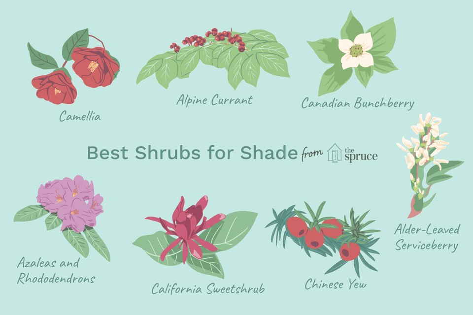 illustration of best shrubs for shade