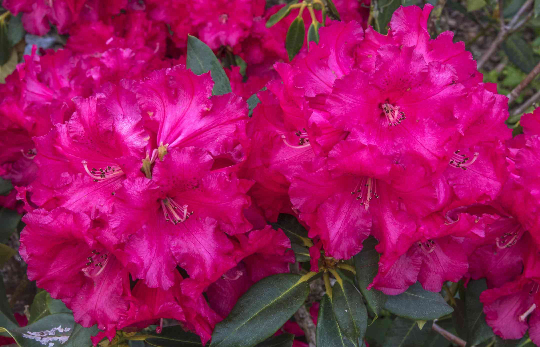 Hot-pink rhododendrons in bloom.