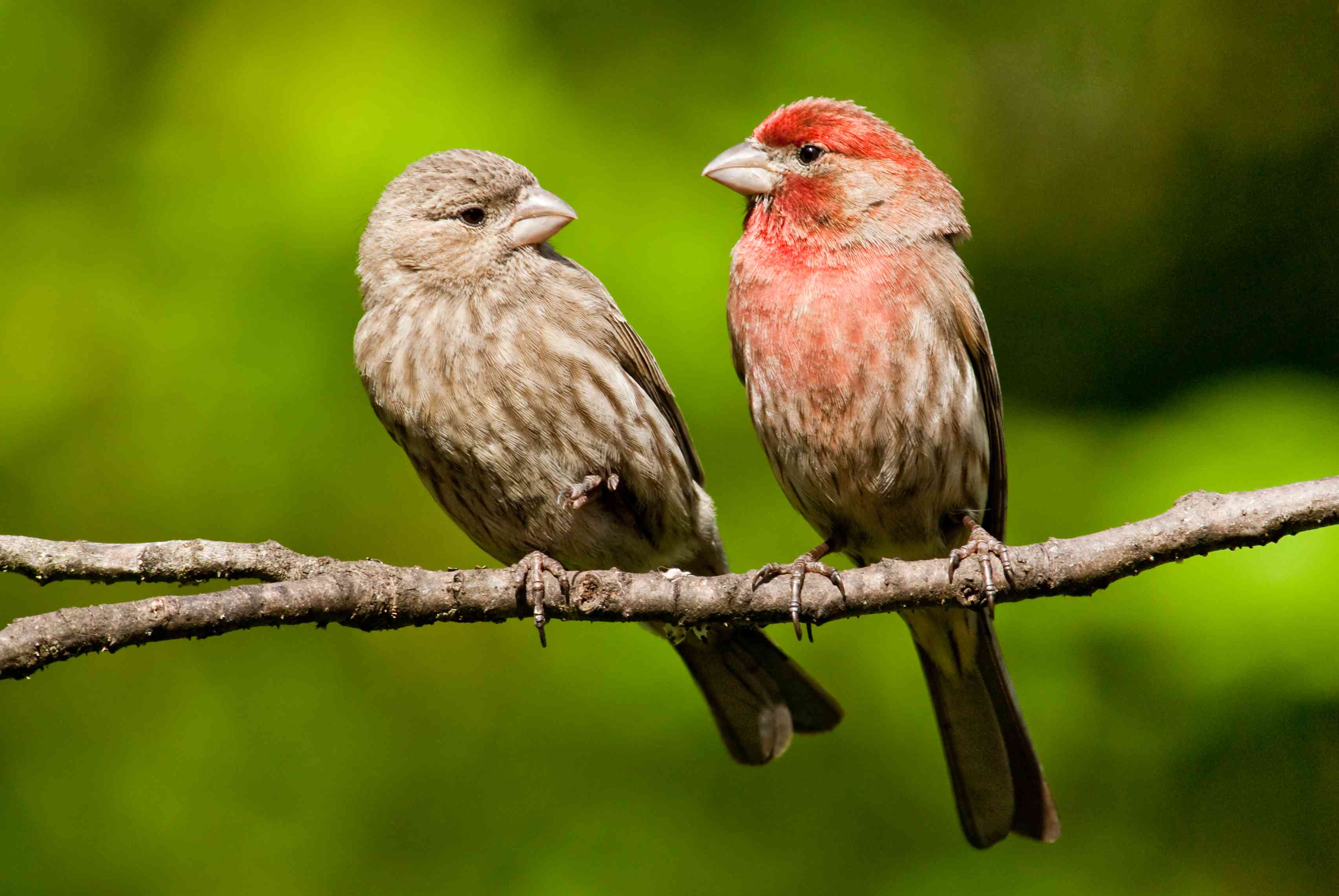 pair of house finches