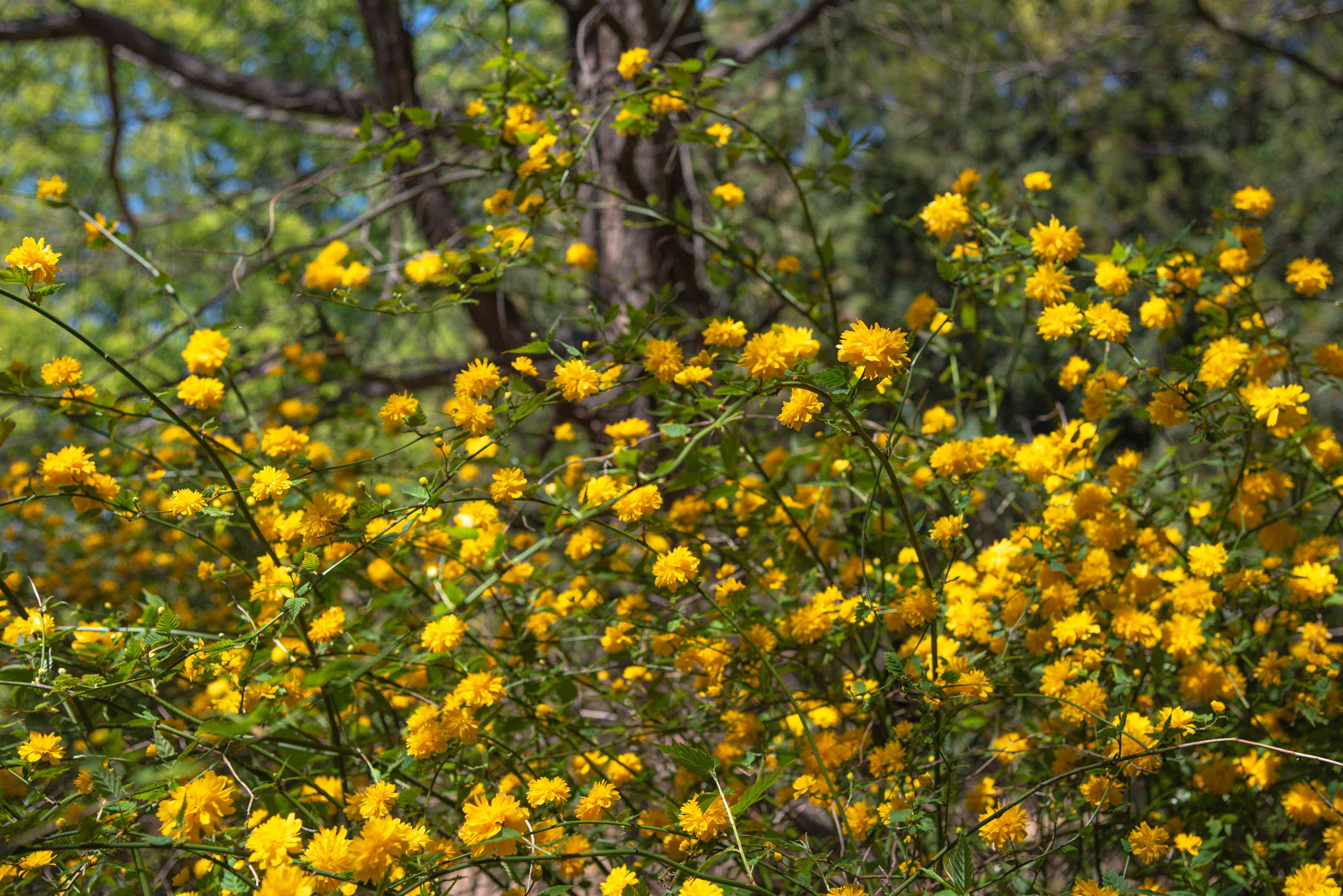 Japanese rose shrub branches with long stems and yellow flowers