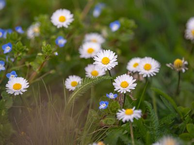 English daisy flowers with small white petals surrounding yellow centers next to grass