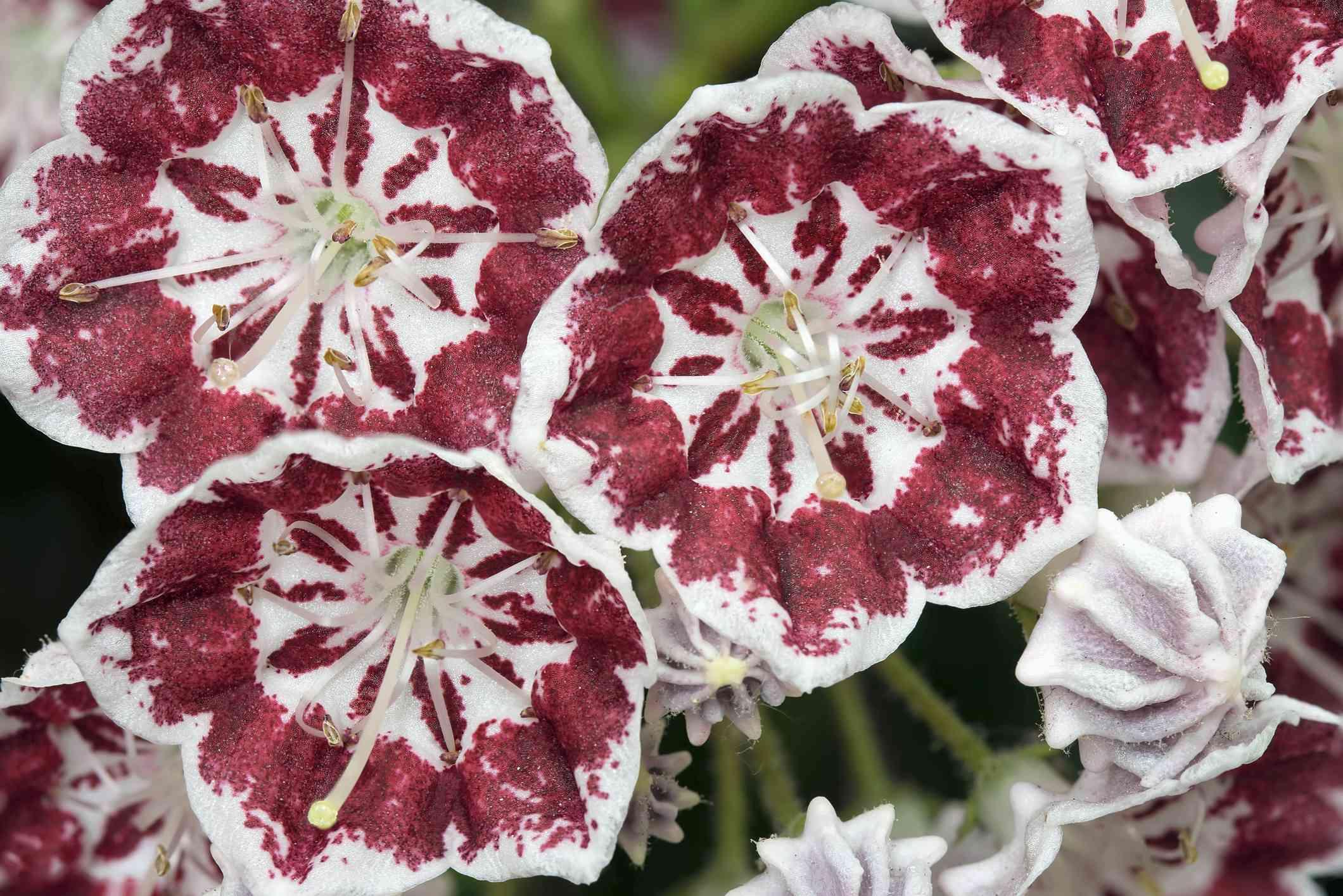 Macro de minueto de flores de laurel de montaña
