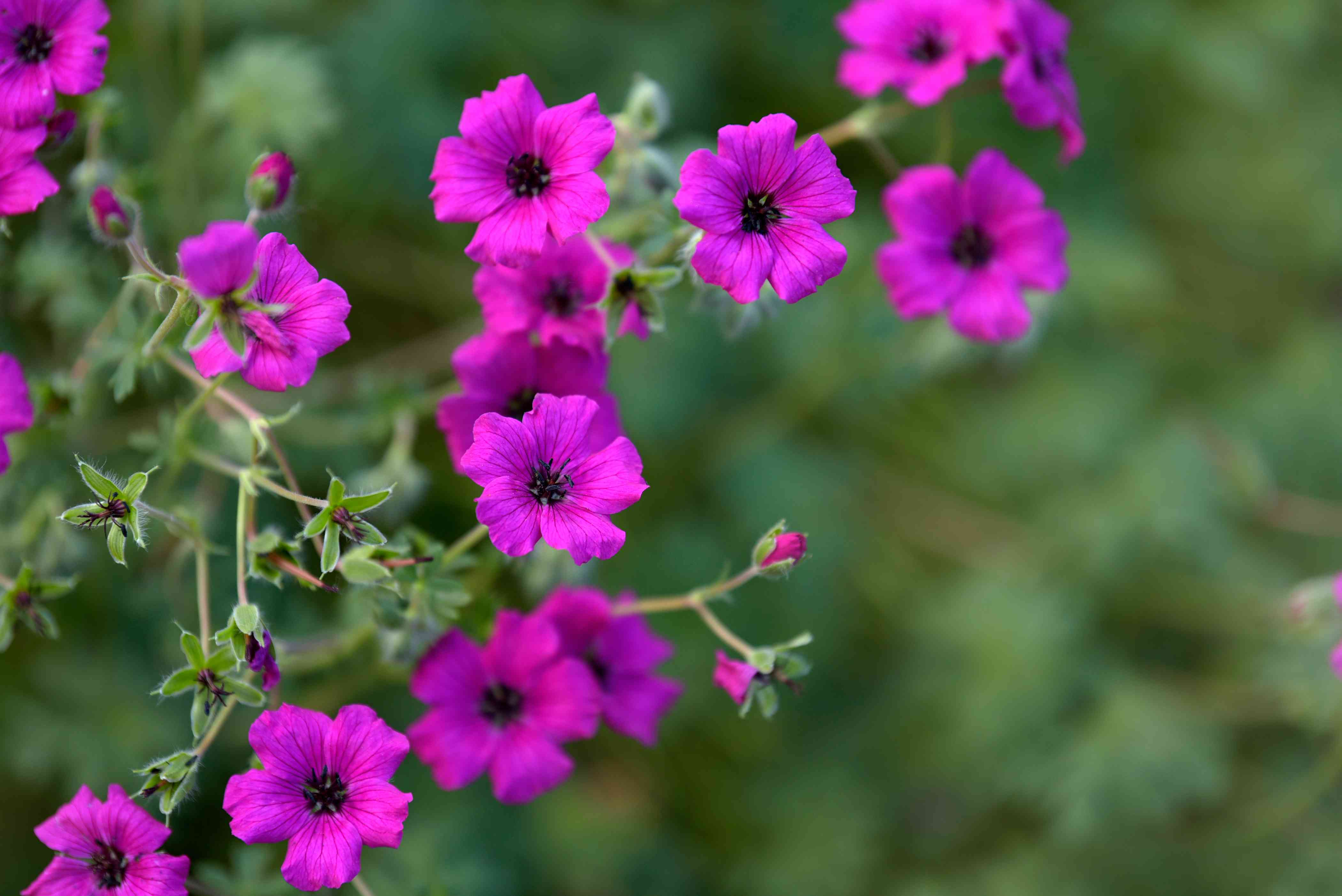 Hardy 'Ann Folkard' geranium plant stems with fuchsia-colored flowers and buds closeup
