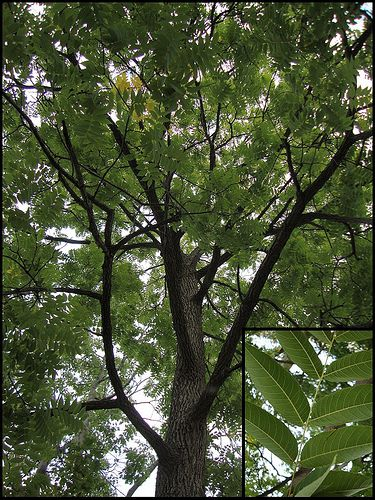 Picture of an Amur corktree