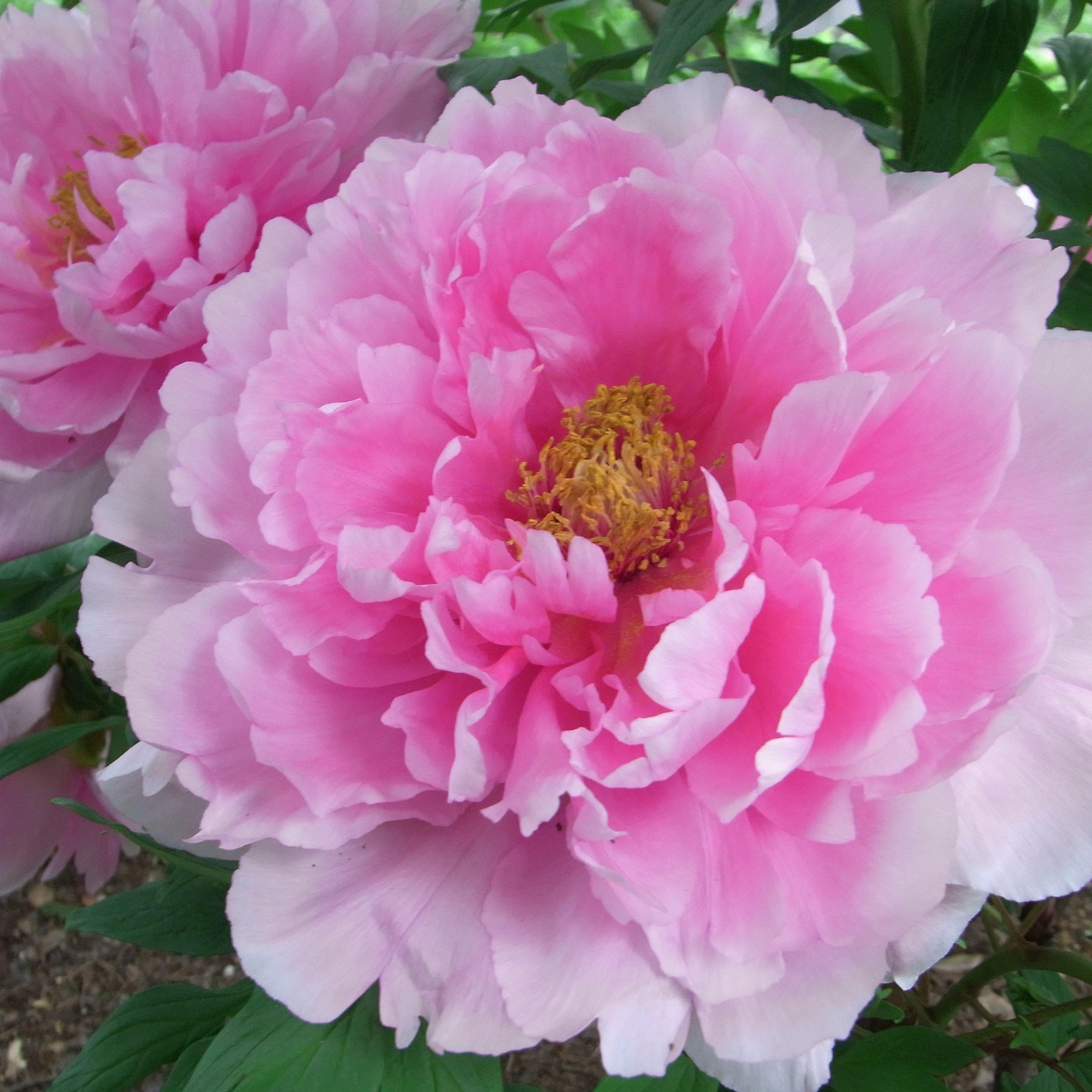 Peonies Big Blooms Fantastic Fragrance