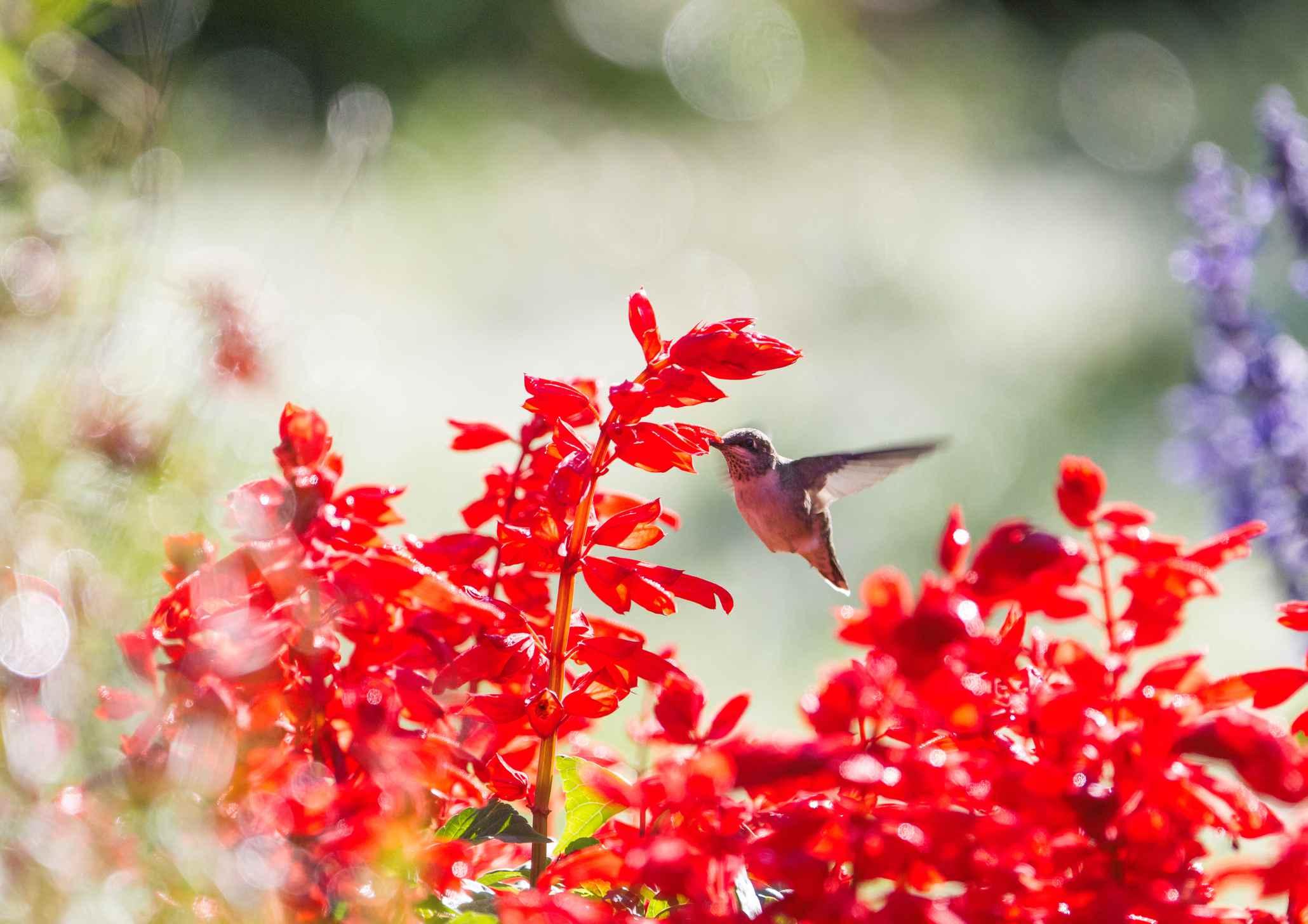 Hummingbird and Red Salvia