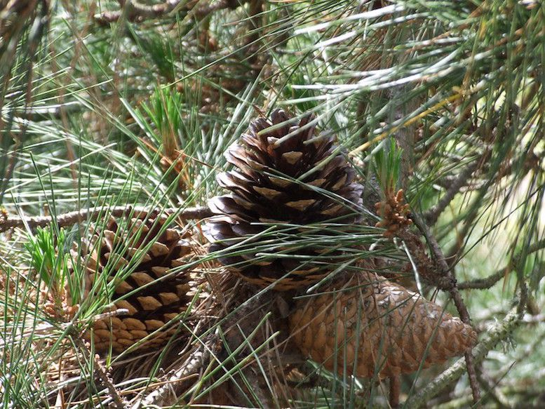 Cluster of three pine cones amid long green needles.