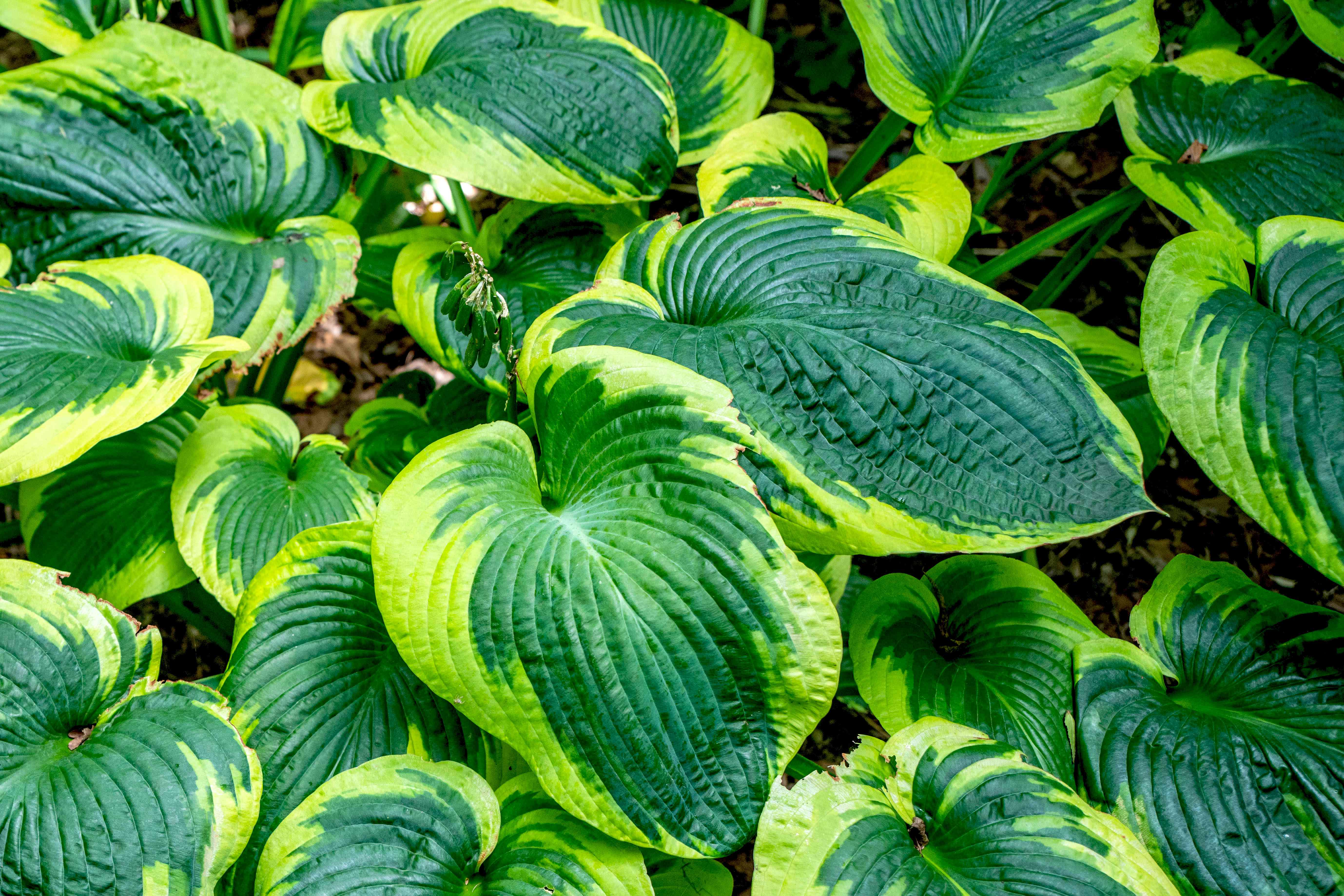 Frances Williams hosta plant with large oval leaves with blue-green and yellow-green colors closeup