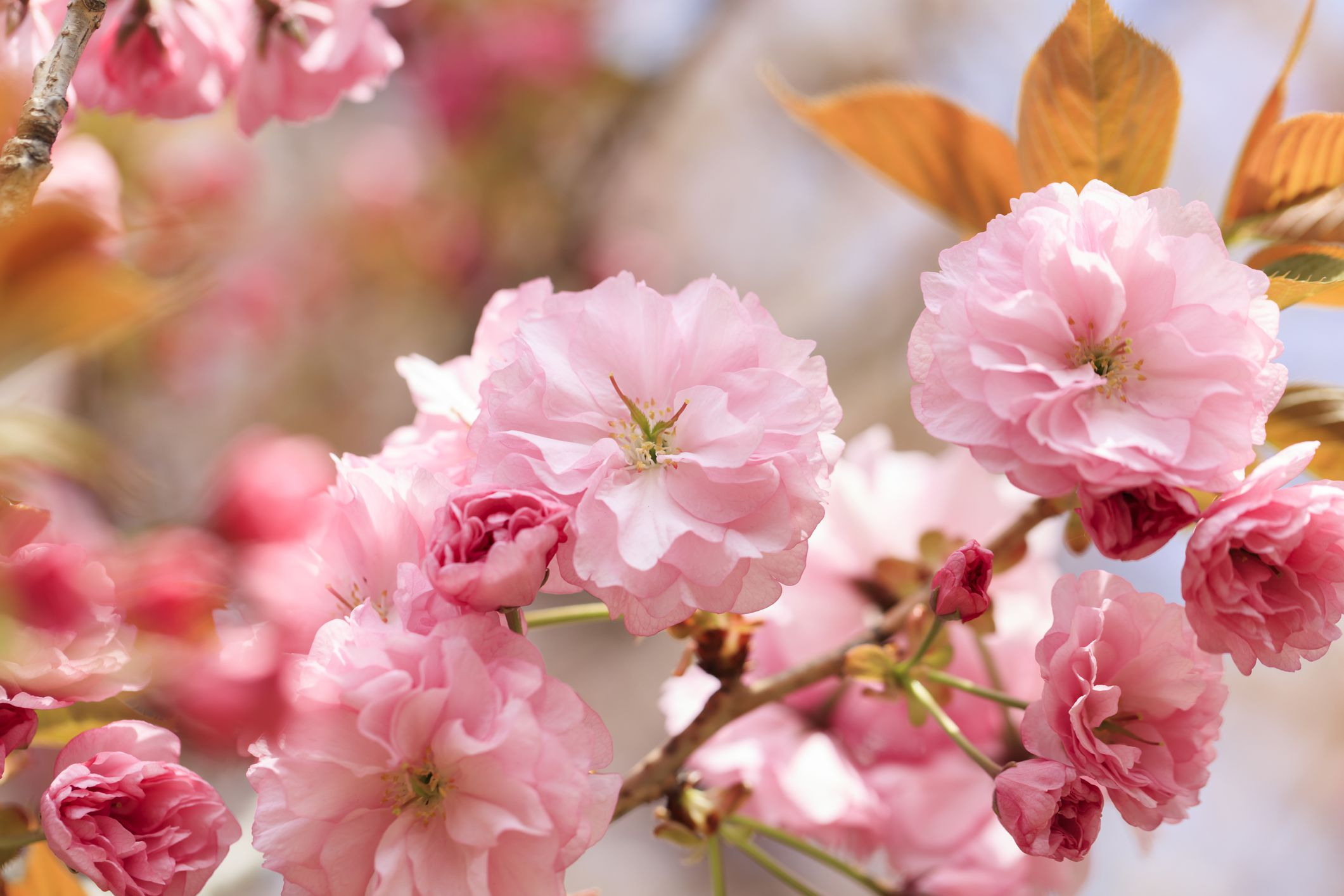 10 Varieties Of Flowering Trees For Your Landscape