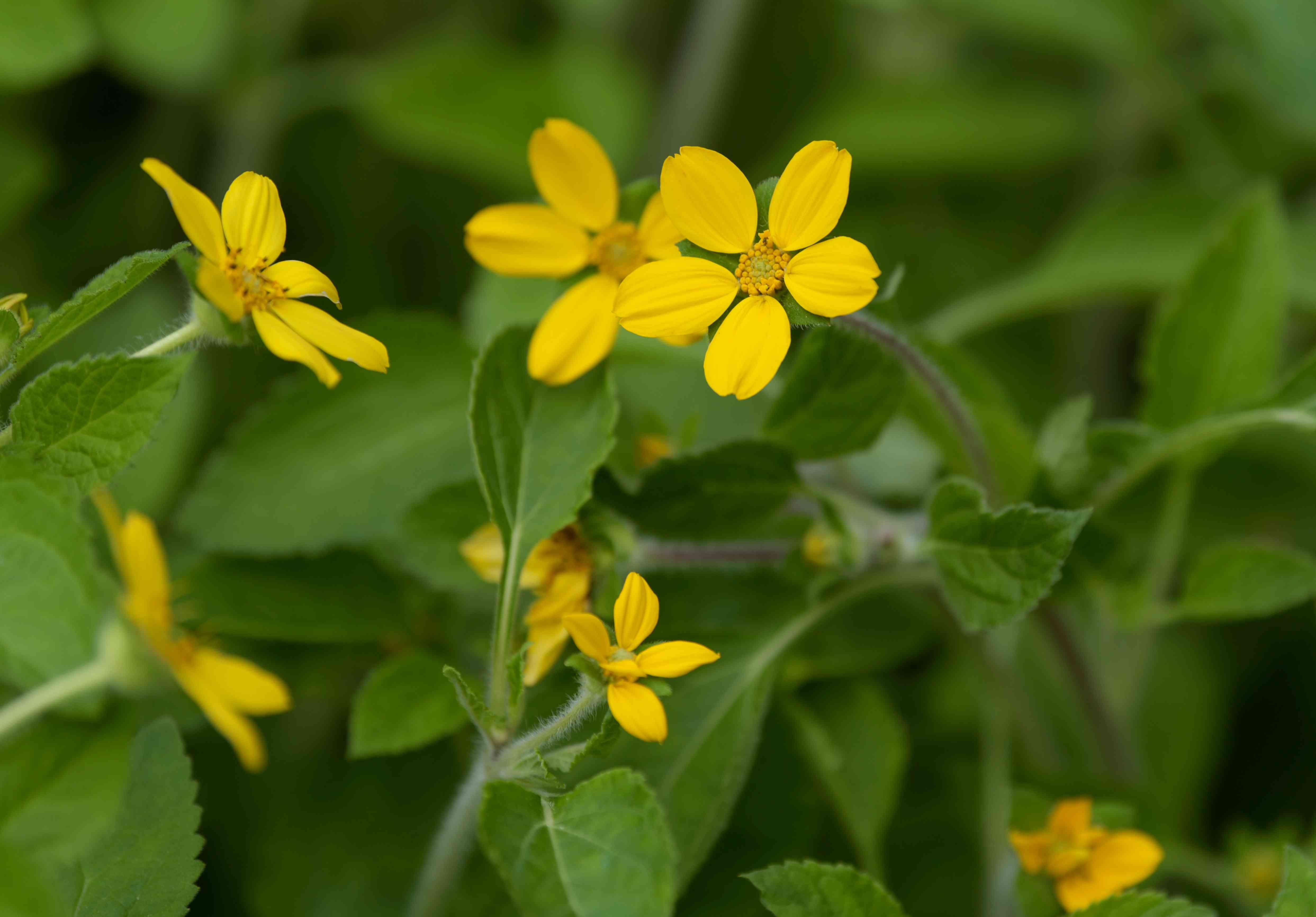 Goldenstar plant with yellow star-shaped flowers on stems closeup