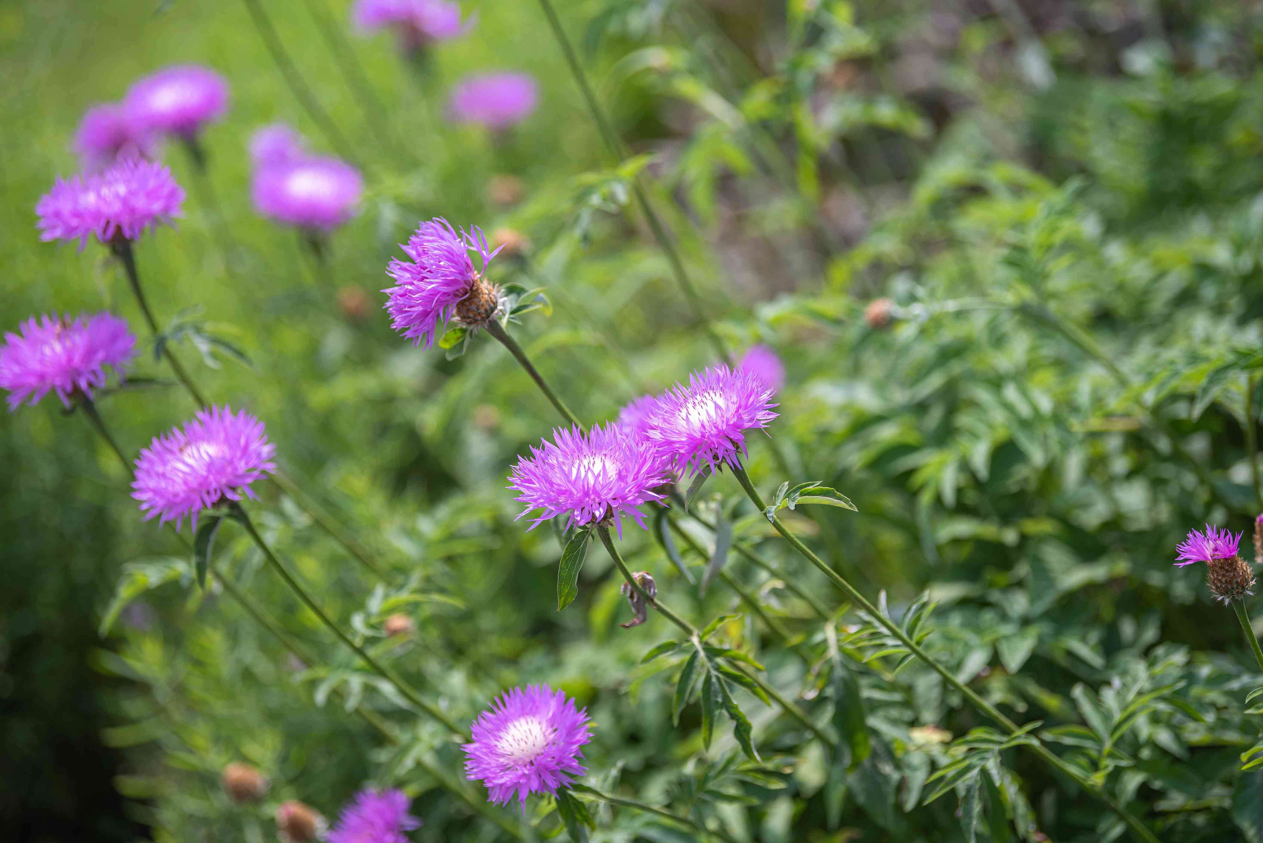 Basket flower with bright purple thistle-like petals on extending thin stems with white centers