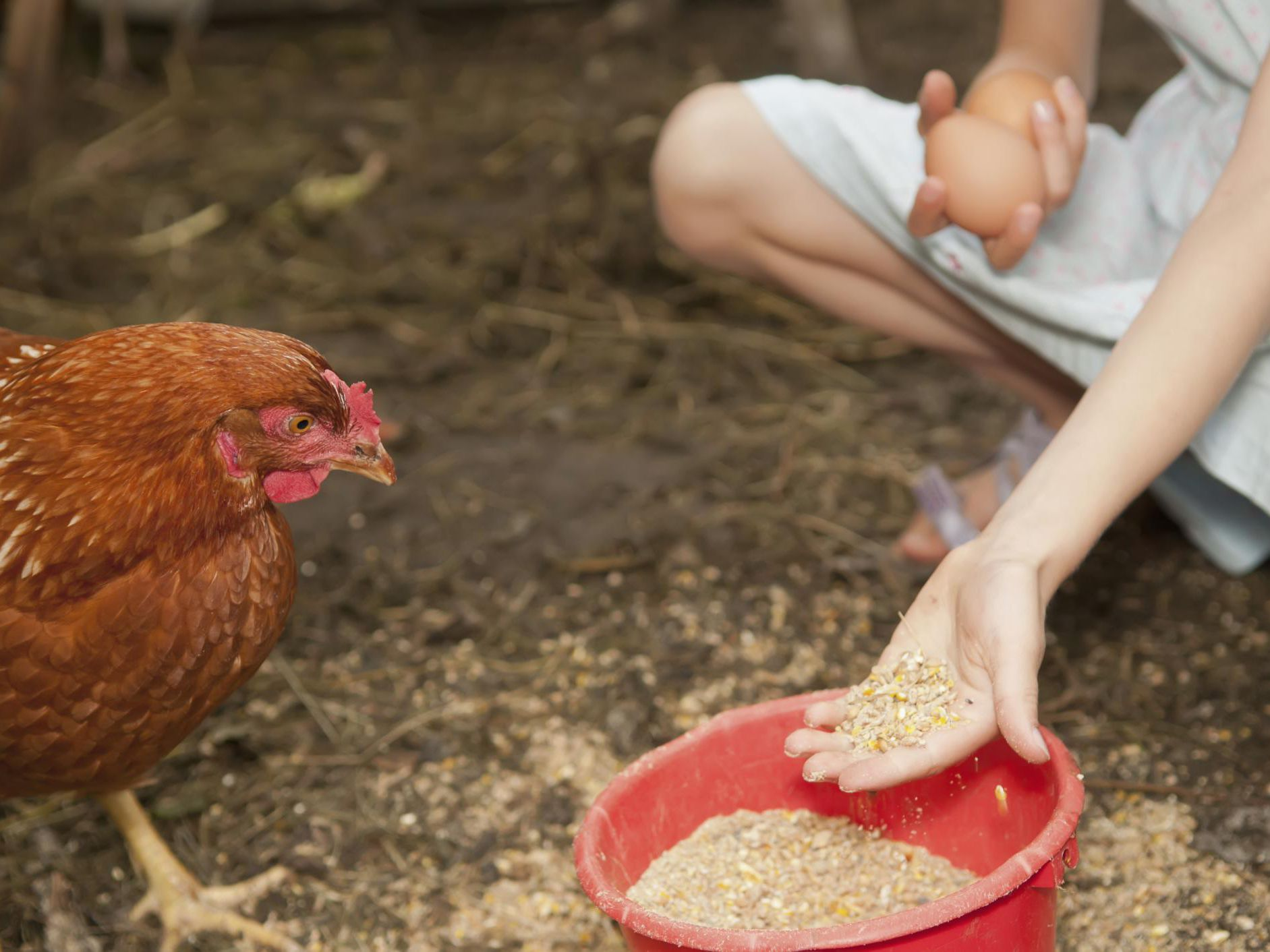 what kind of diet should a chicken have