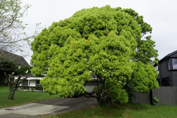 Camphor tree with bright green leaves covering driveway